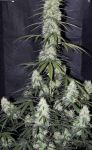 AK-47 king auto (100 seeds)