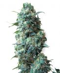 Afghan Kush feminised (5-1000 seeds)