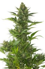 Original Amnesia Auto fem (5-1000 seeds) ― GrowSeeds