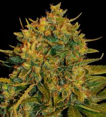 Auto Big Bud fem (5-1000 seeds) ― GrowSeeds