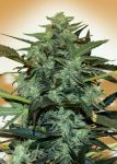 Auto Cheese Berry fem (5-1000 seeds)