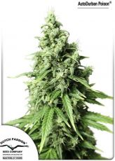 Auto Durban Poison fem (5-1000 seeds) ― GrowSeeds