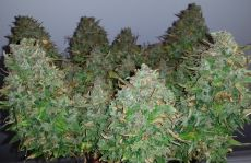 Auto Lemon Skunk fem (5-1000 seeds) ― GrowSeeds