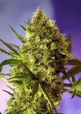 Аuto Big Devil fem (5-1000 seeds) ― GrowSeeds