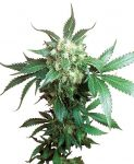 Black Domina feminised (5-1000 seeds)