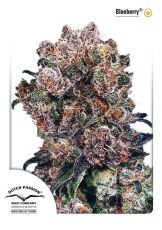 Blueberry feminised (5-1000 seeds) ― GrowSeeds