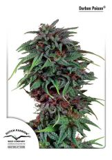 Durban Poison feminised (5-1000 seeds) ― GrowSeeds