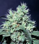 Dutch Dragon feminised (5-1000 seeds)