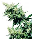 Hash Plant feminised (5-1000 seeds)
