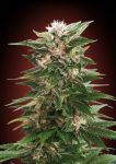 Kaya 47 feminised (5-1000 seeds)