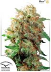 Mazar feminised (5-1000 seeds)