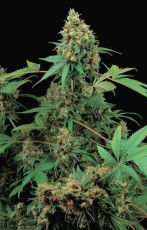 Moby Dick feminised (5-1000 seeds) ― GrowSeeds