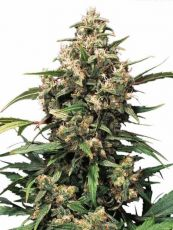 Strawberry Cough feminised (5-1000 seeds) ― GrowSeeds