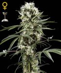 Super Lemon Haze feminised (5-1000 seeds)