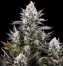 White Widow feminised (5-1000 seeds)  ― GrowSeeds