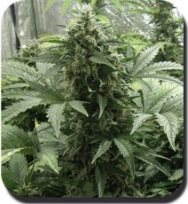 Auto White Dwarf fem (5-1000 seeds) ― GrowSeeds