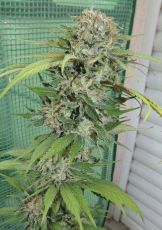 WiFi usa feminised (5-1000 seeds) ― GrowSeeds