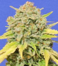 Zkittlez usa feminised (5-1000 seeds)  ― GrowSeeds